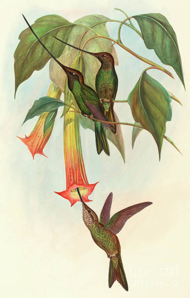 Humming Bird Wall Art - Painting - Sword Billed Hummingbird by John Gould