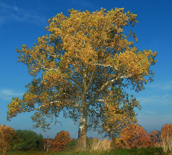 Photograph - Sycamore In Gold by Mark Fuller