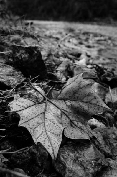 Photograph - Sycamore Leaf by Jeff Phillippi