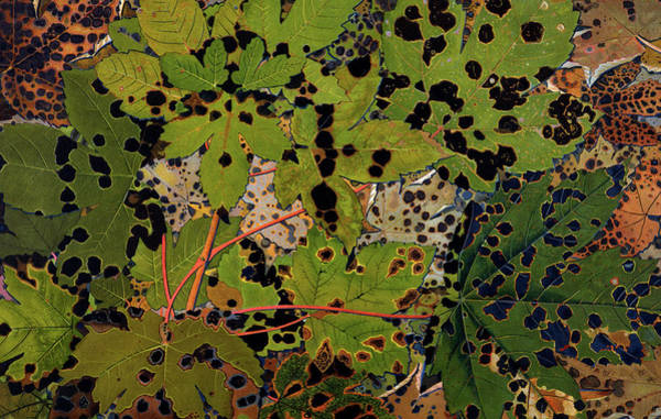 Sycamore Painting - Sycamore Leaves by Philippe Robert