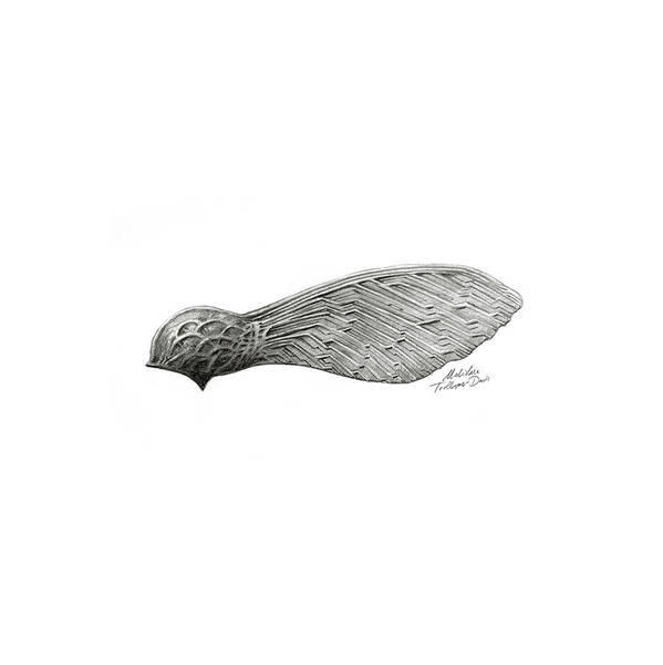 Organic Garden Drawing - Sycamore Seed by Malcolm Trollope-Davis