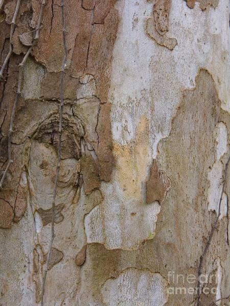 Photograph - Sycamore Tree Bark by D Hackett