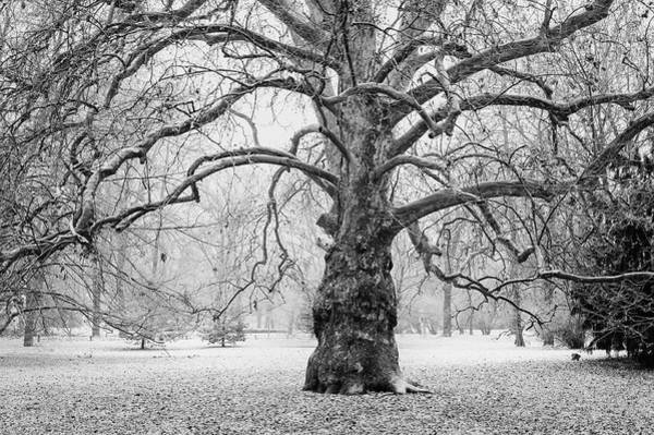 Photograph - Sycamore Tree In Early Winter by Jenny Rainbow