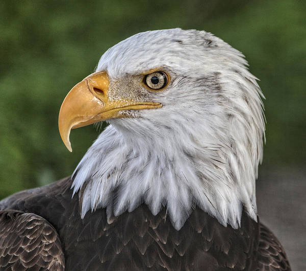 Photograph - Symbolic Eagle by Wes and Dotty Weber