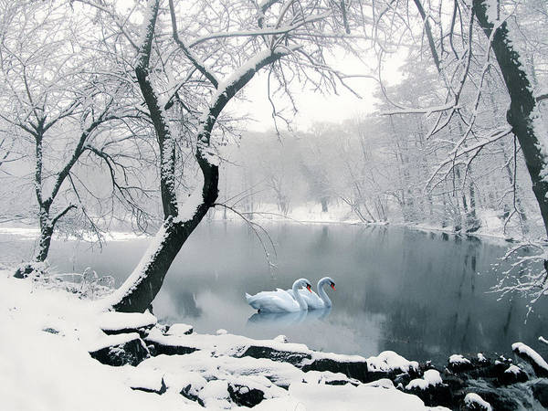 White Swan Photograph - Synchronicity by Jessica Jenney