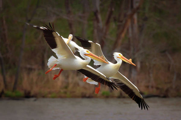 Photograph - Synchronized Flying by Susan Rissi Tregoning