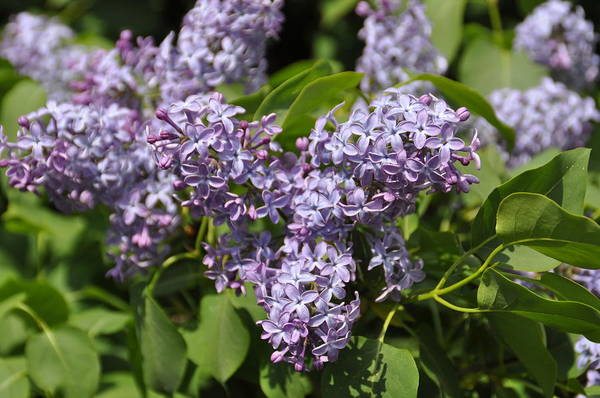 Photograph - Syringa Vulgaris by Thomas M Pikolin