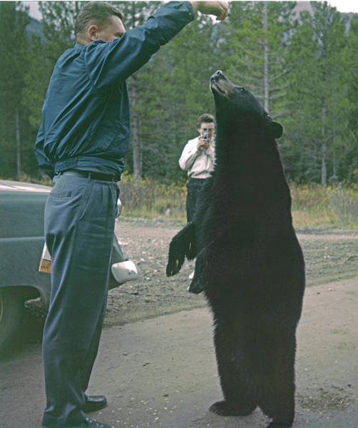 Photograph - T-203503 Bear Feeding In The Old Days by Ed  Cooper Photography