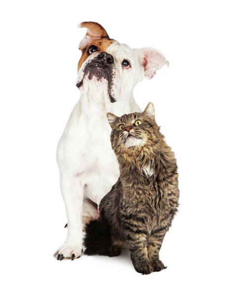 Wall Art - Photograph - Tabby Cat And Bulldog Together Looking Up by Susan Schmitz