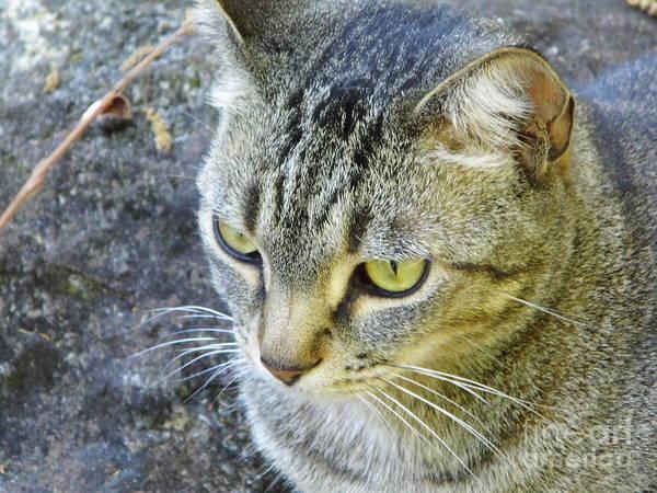 Photograph - Tabby Cat by D Hackett