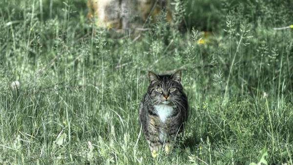 Photograph - Tabby Cat On The Hunt by Carol Montoya