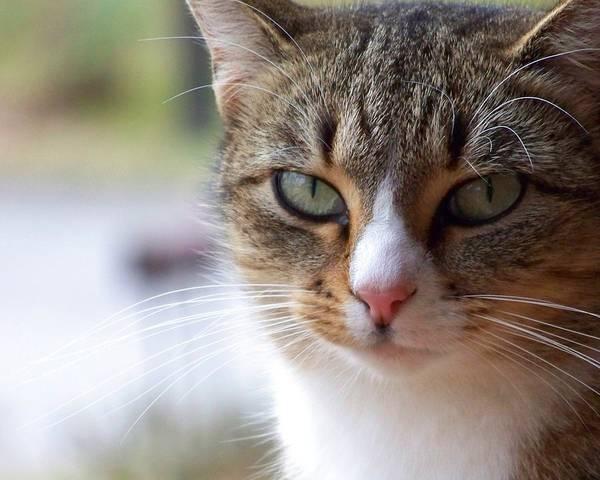 Photograph - Tabby Cat Portrait by Jai Johnson