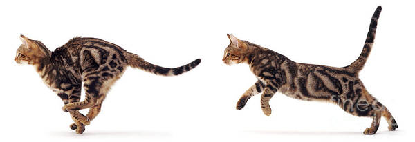 Photograph - Tabby Cat Running by Warren Photographic