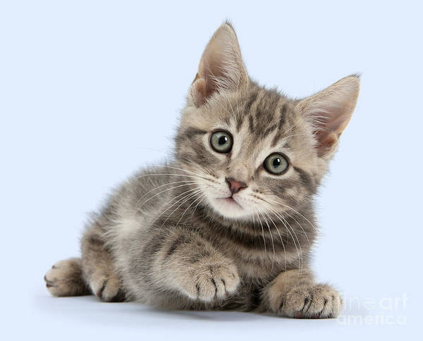 Photograph - Tabby Kitty by Warren Photographic