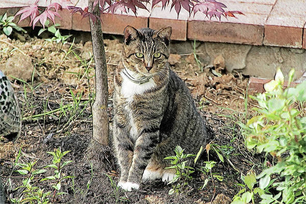 Drawing - Tabby Under The Japanese Maple - Sketch by Ericamaxine Price