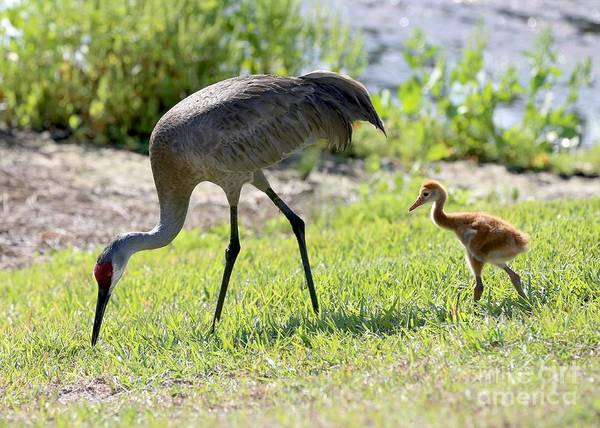 Photograph - Tag Along Sandhill Crane Chick by Carol Groenen