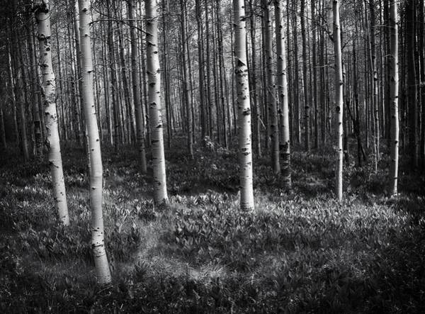 Wall Art - Photograph - Tahoe Birches by Chris Fleming