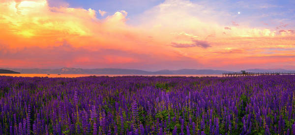 Lupines Photograph - Tahoe City Lupine Sunset By Brad Scott by Brad Scott