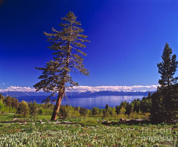 Wall Art - Photograph - Tahoe Tree by Vance Fox