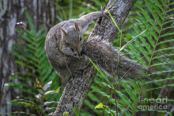 Photograph - Tail-biting Squirrel by Tom Claud