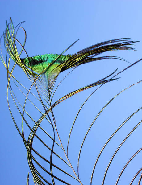 Photograph - Tail Feather Flow by Kristin Elmquist