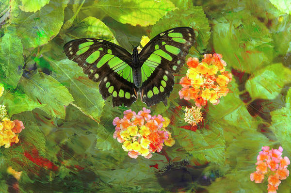 Photograph - Tailed Jay Butterfly 1 by Jim Thompson