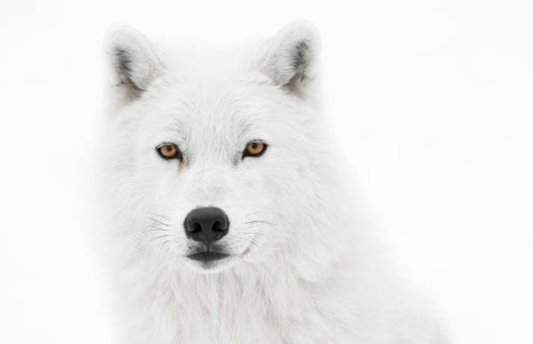 Arctic Wolves Photograph - Take The Pose by PNDT Photo