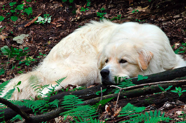 Great Pyrenees Photograph - Taking A Break by Thomas R Fletcher
