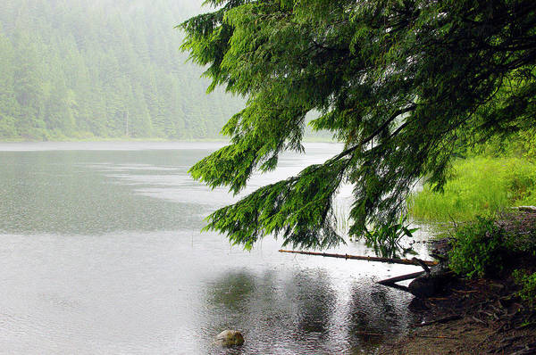Photograph - Taking Cover From A Summer Rain Under A Cedar Bough by Sharon Talson