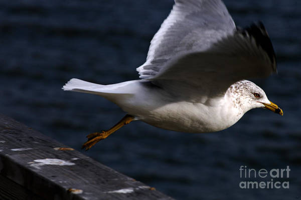 Photograph - Taking Flight by Clayton Bruster