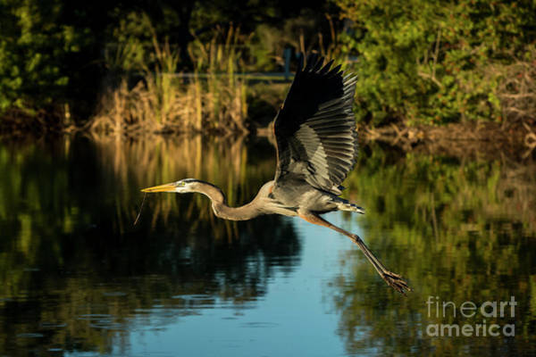 Great Blue Heron Wall Art - Photograph - Taking Flight by Quinn Sedam
