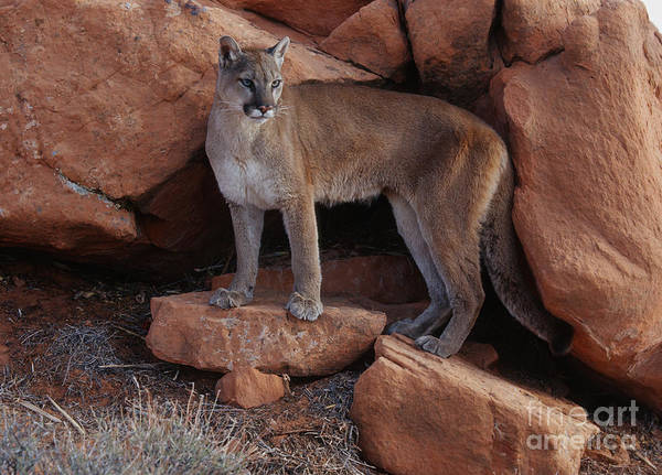 Cougar Photograph - Taking Stock by Sandra Bronstein