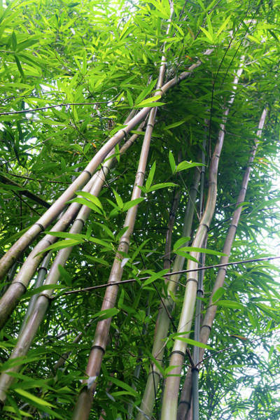 Bamboo Photograph - Tall Bamboo by Christopher Johnson