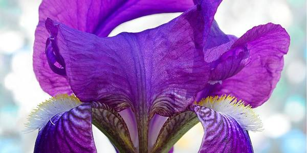 Photograph - Tall, Bearded And Handsome - Iris by KJ Swan