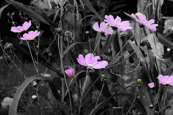 Photograph - Tall Pink Poppies by April Burton