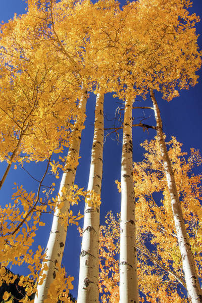 Wall Art - Photograph - Tall Tall Aspen 2 by Dawn Key