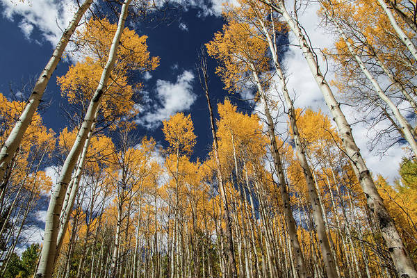 Wall Art - Photograph - Tall Tall Aspens by Dawn Key