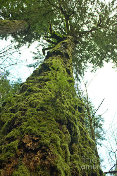 Photograph - Tall Tall Tree by Donna L Munro