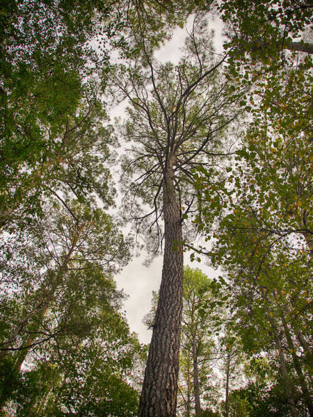 Photograph - Tall Tree by Charles McKelroy