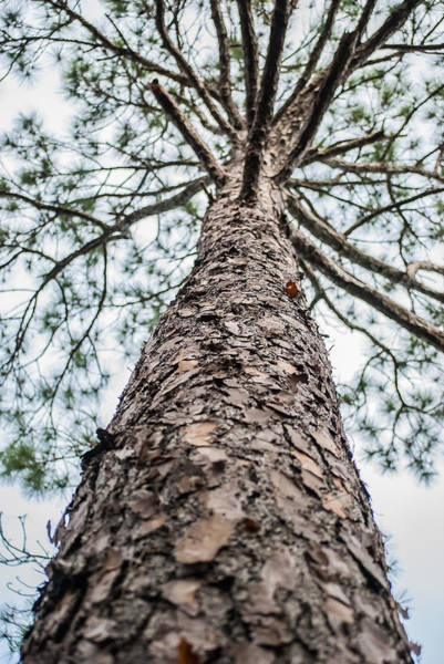 Photograph - Tall Tree 4007 by G L Sarti