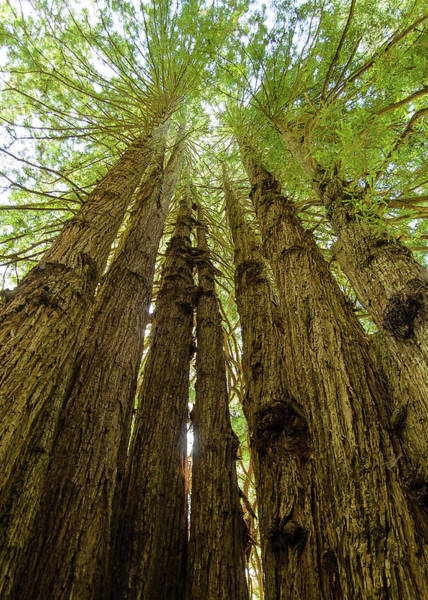 Photograph - Tall Trees by Tom Potter