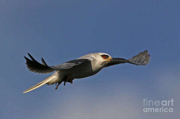 White-tailed Kite Photograph - Talons And Fur by Craig Corwin