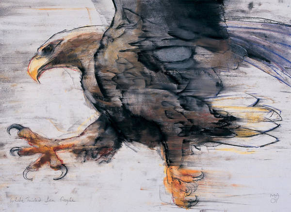 Wall Art - Drawing - Talons   White Tailed Sea Eagle by Mark Adlington