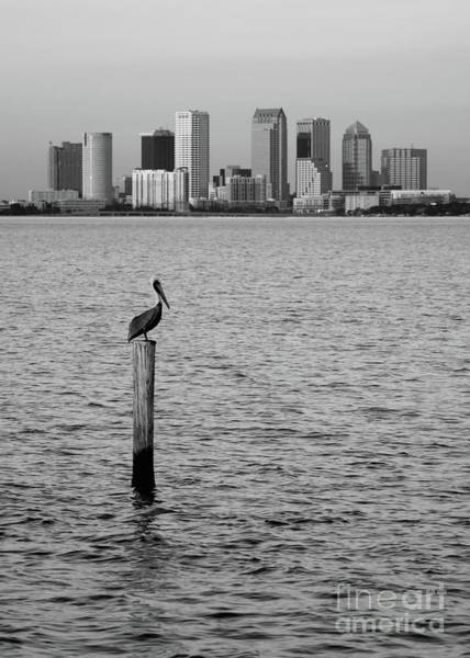 Wall Art - Photograph - Tampa Skyline And Pelican Black And White by Carol Groenen