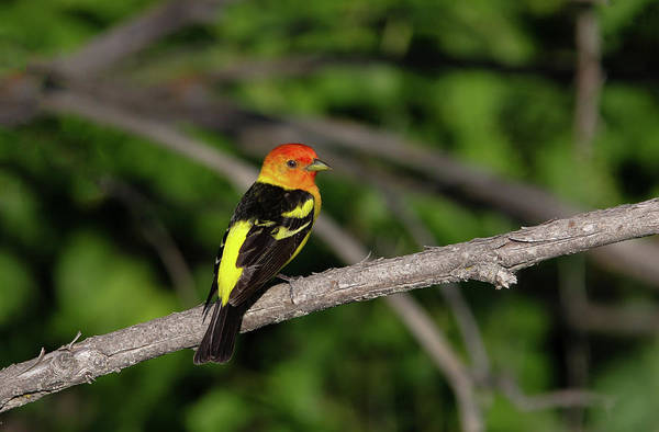 Photograph - Tanager by Ronnie and Frances Howard