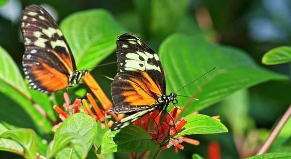 Photograph - Tandem Butterflies by Garvin Hunter
