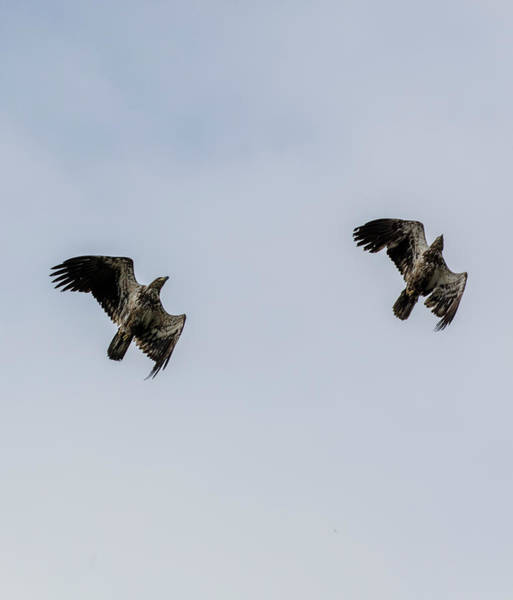 Photograph - Tandem Eagles by Gloria Anderson