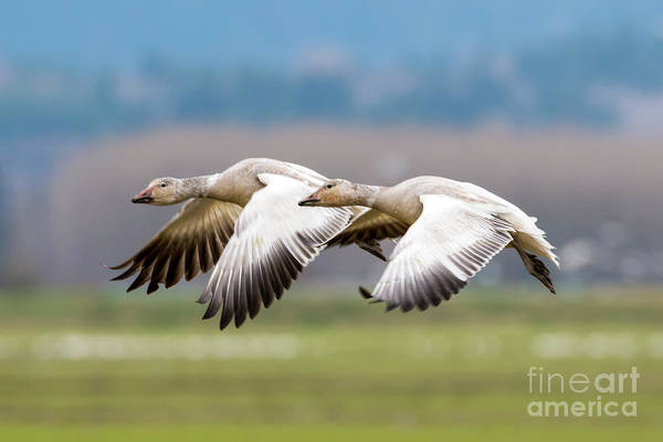Snow Goose Photograph - Tandem Glide by Mike Dawson