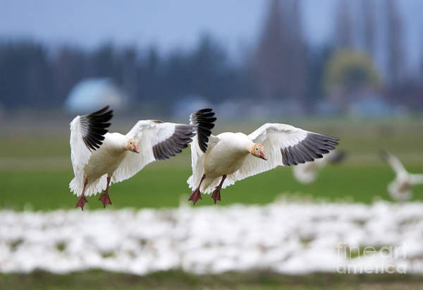 Snow Goose Photograph - Tandem Landing  by Mike Dawson