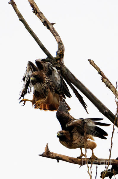 Red Tailed Hawk Photograph - Tandem Take-off by Mike Dawson